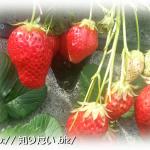 苺イメージ写真