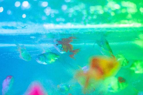 金魚コケ写真1