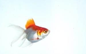 金魚写真1