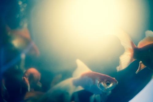 金魚写真2