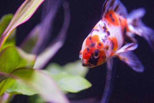 金魚と水草2
