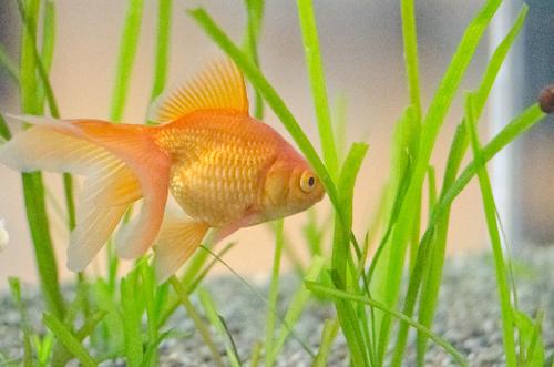 金魚と水草1