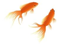 金魚イラスト2